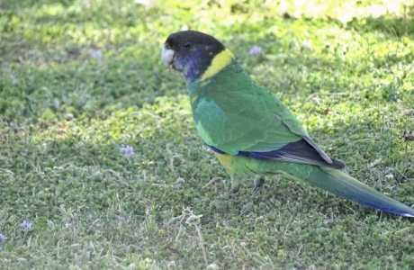 Kui Parks, Katanning Caravan Park, Birdlife